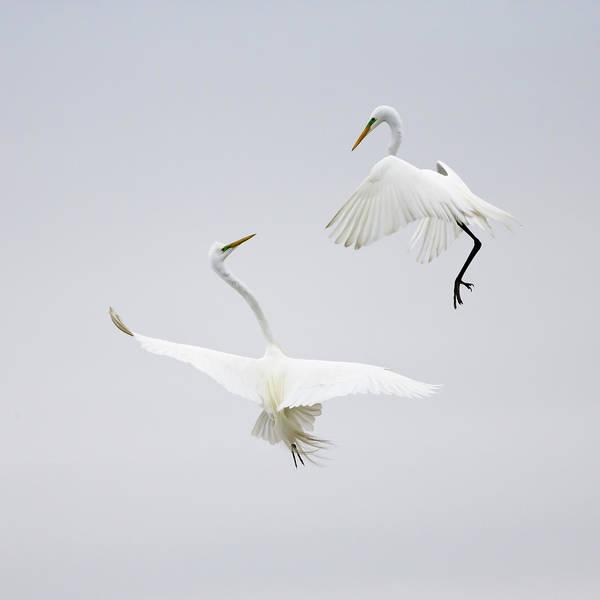 Wild Bird Photograph - Dancing In The Air by Karen Wang