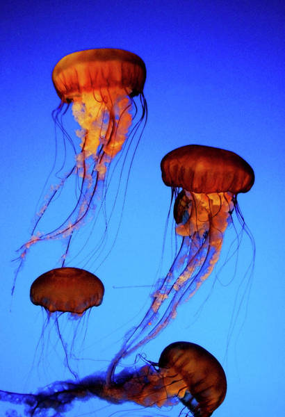 Photograph - Dancing Jellyfish by Anthony Jones