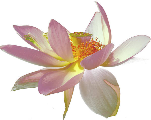 Photograph - Dancing Lotus On White by Julie Palencia