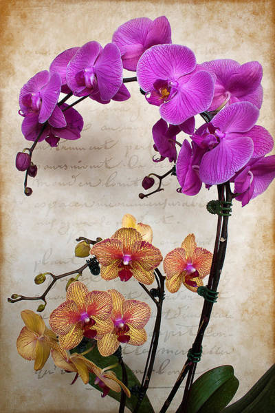 Photograph - Dancing Orchids by Milena Ilieva