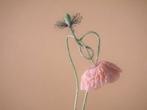 Photograph - Dancing Poppy In Pink by Barbara St Jean