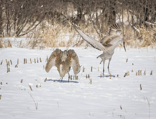 Photograph - Dancing Sandhill Cranes 2016-1 by Thomas Young