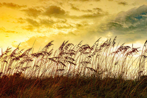 Photograph - Dancing Sea Oats by John Harding