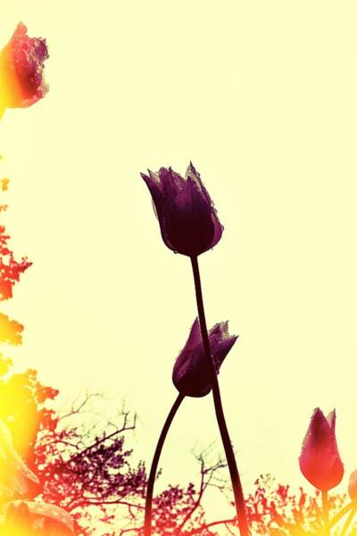 Photograph - Dancing Tulips by Michelle Calkins