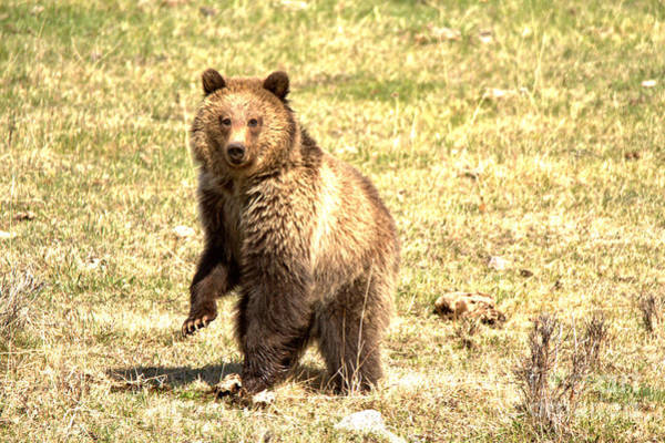 Photograph - Dancing Yellowstone Grizzly by Adam Jewell