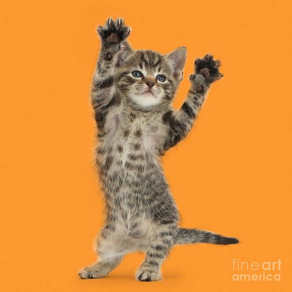 Photograph - Dancing Ymca Kitten by Warren Photographic