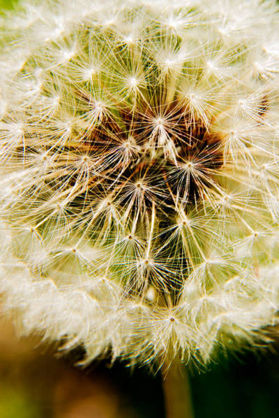 Photograph - Dandelion - 1 by Barry Jones