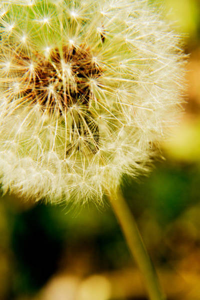 Photograph - Dandelion - 2 by Barry Jones
