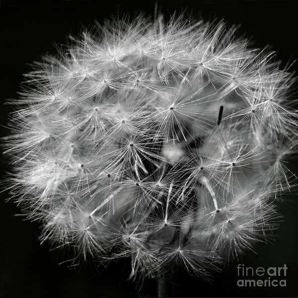 Photograph - Dandelion 2016 Black And White Square by Karen Adams