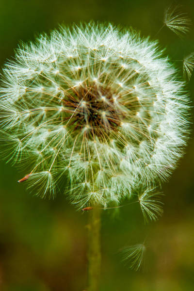 Photograph - Dandelion - 5 by Barry Jones