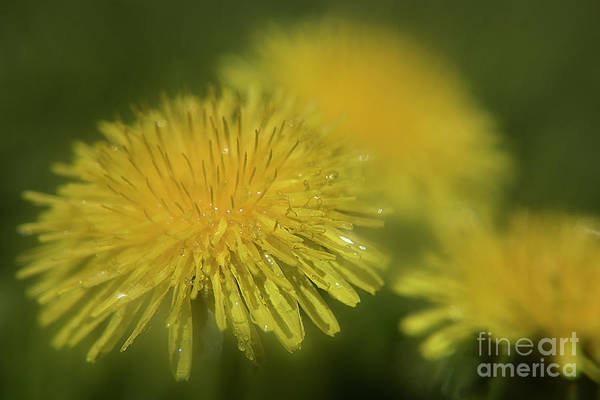 Photograph - Dandelion After Rain-3835 by Steve Somerville