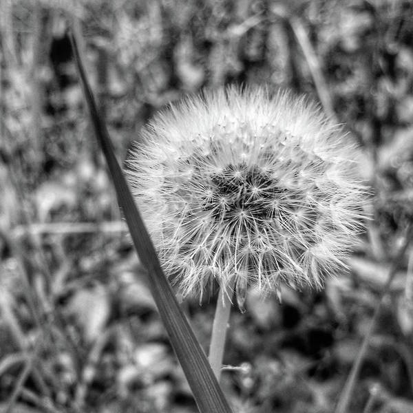 Photograph - Dandelion by Al Harden