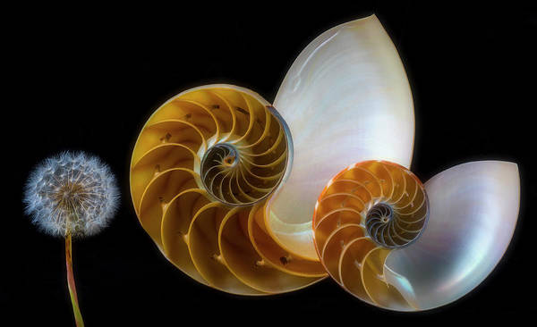 Wall Art - Photograph - Dandelion And Nautilus Shells by Garry Gay