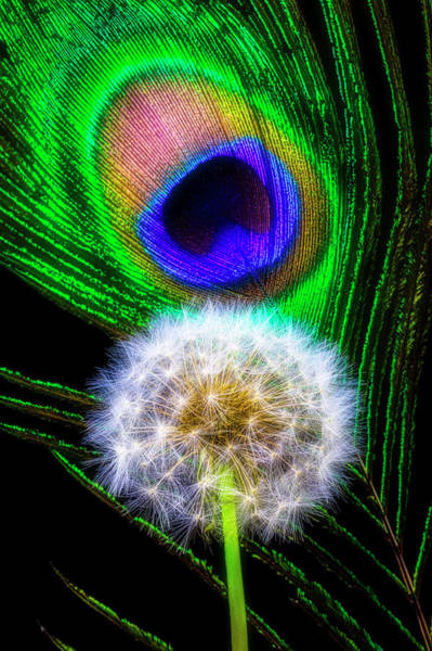 Dandelion Puff Photograph - Dandelion And Peacock Feather by Garry Gay