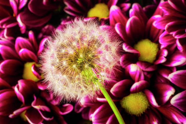 Dandelion Puff Photograph - Dandelion And Poms by Garry Gay