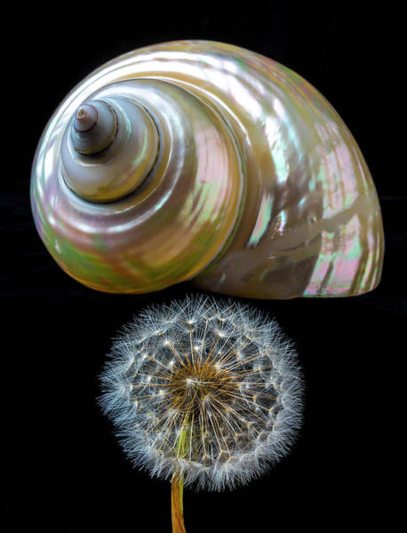 Dandelion Puff Photograph - Dandelion And Seashell by Garry Gay