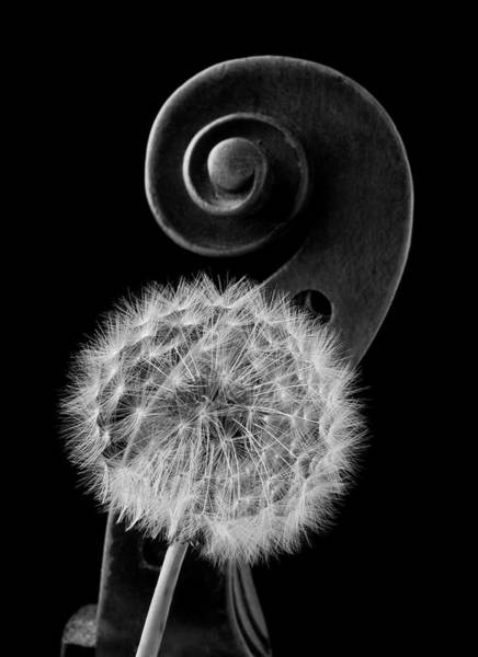 Dandelion Puff Photograph - Dandelion And Violin Scroll by Garry Gay