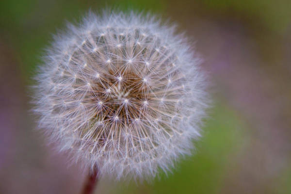 Wall Art - Photograph - Dandelion by April Reppucci