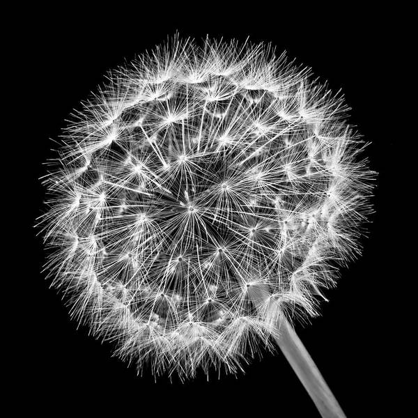 Dandelion Puff Photograph - Dandelion Ball In Black And White by Garry Gay