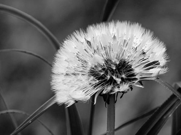Photograph - Dandelion - Black And White by Mhiss Little