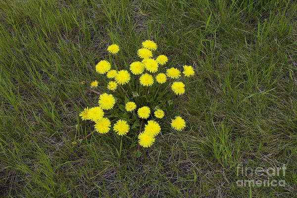 Photograph - Dandelion Bouquet by Donna L Munro