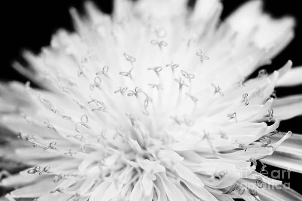 Photograph - Dandelion by Chris Scroggins