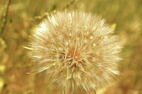 Wall Art - Photograph - Dandelion by Christiane Schulze Art And Photography