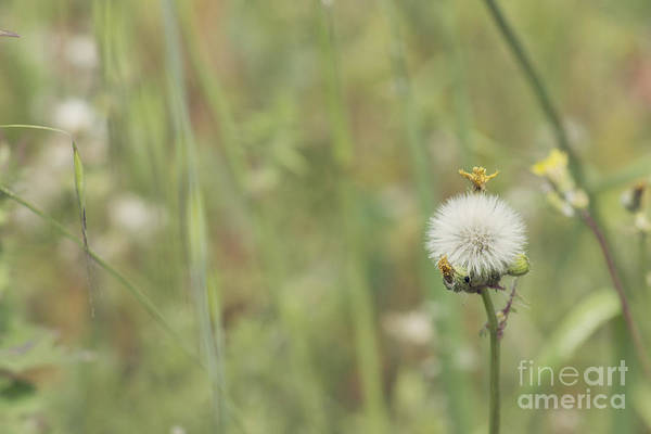 Photograph - Dandelion by Cindy Garber Iverson