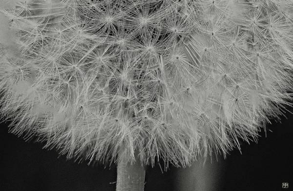 Photograph - Dandelion Detail by John Meader