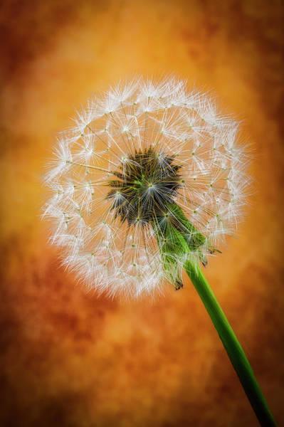 Fluffy Photograph - Dandelion Dreams by Garry Gay