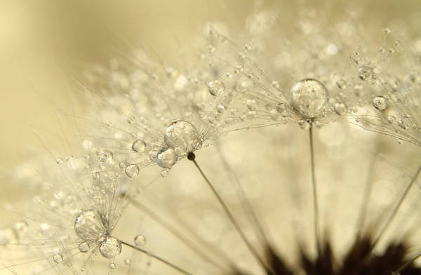 Sparkle Wall Art - Photograph - Dandelion Drops by Sharon Johnstone