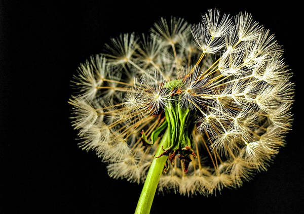 Wall Art - Photograph - Dandelion by Elijah Knight