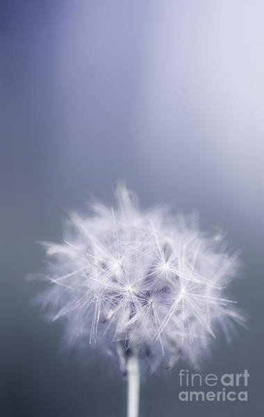 Photograph - Dandelion Flower In Cold Blue Field. Winter Wish by Jorgo Photography - Wall Art Gallery