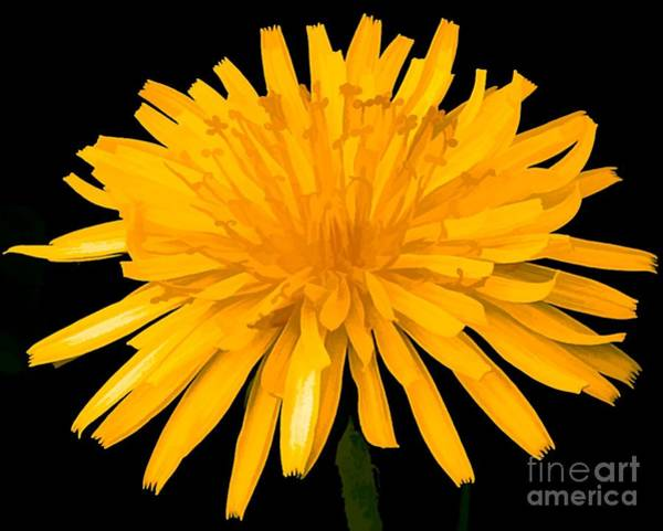 Photograph - Dandelion Flower Molten Gold Effect by Rose Santuci-Sofranko