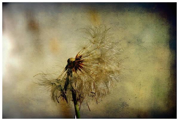 Dandelion Flower Art Print by Valmir Ribeiro