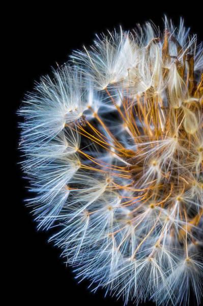 Fluffy Photograph - Dandelion Fluff by Garry Gay