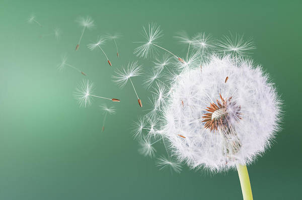 Wall Art - Photograph - Dandelion Flying On Green Background by Bess Hamiti