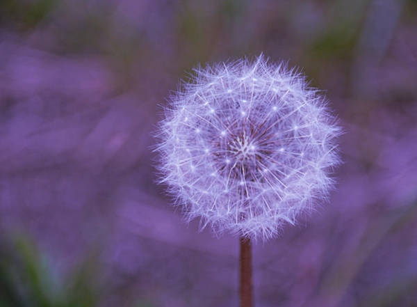 Photograph - Dandelion Geometry by SimplyCMB