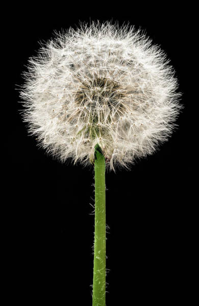 Wall Art - Photograph - Dandelion Gone To Seed by Steve Gadomski
