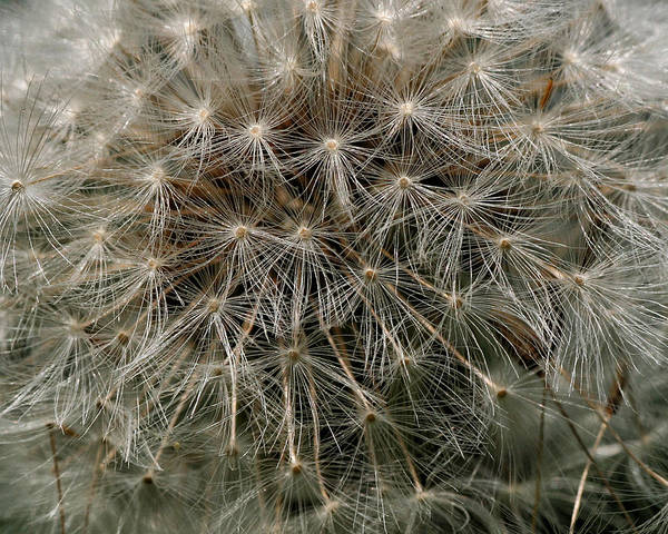Photograph - Dandelion Head by William Selander