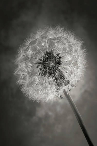 Dandelion Puff Photograph - Dandelion In Black And White by Garry Gay