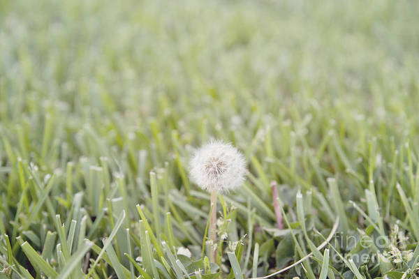 Photograph - Dandelion In The Grass by Cindy Garber Iverson