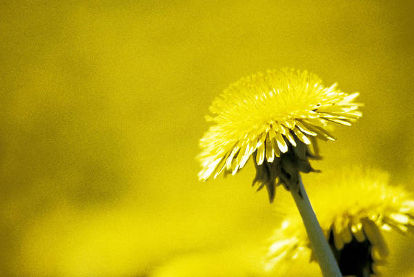 Photograph - Dandelion In Yellow by Steve Somerville