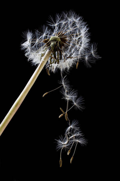 Seed Head Wall Art - Photograph - Dandelion Loosing Seeds by Garry Gay