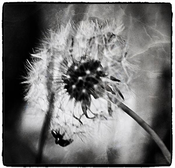 Photograph - Dandelion by Mario MJ Perron