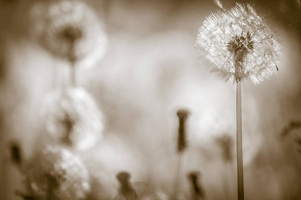Photograph - Dandelion Monochrome No 1 by Chris Bordeleau
