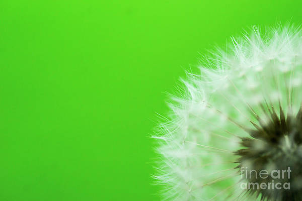 Wall Art - Photograph - Dandelion Green by DiFigiano Photography