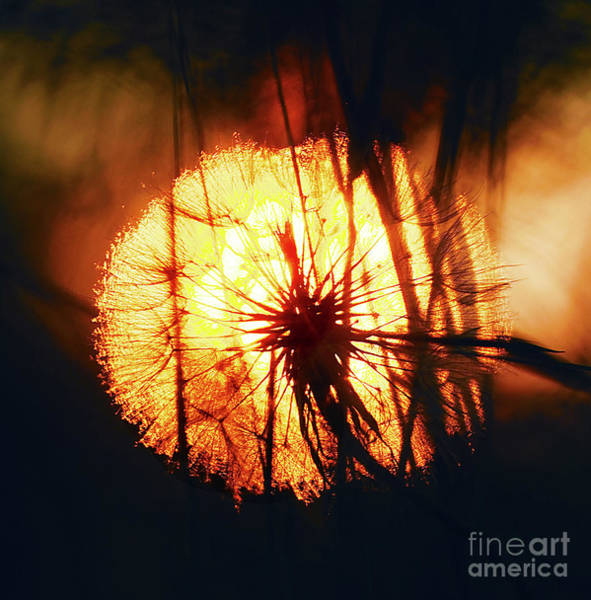 Photograph - Dandelion Pappus Sunset-2 by Steve Somerville