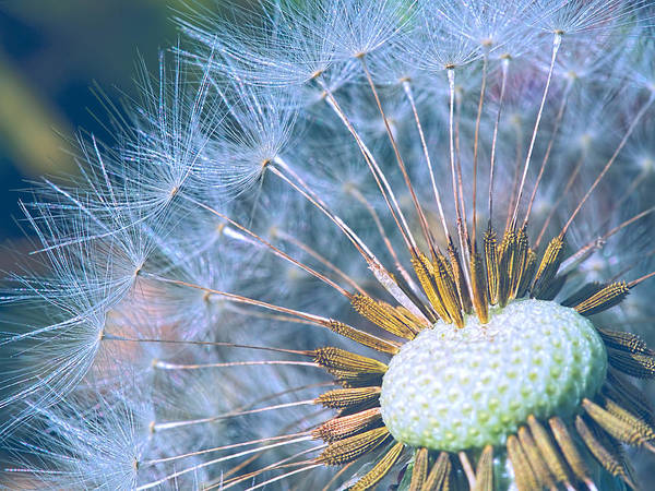 Photograph - Dandelion Plumes by Brad Boland