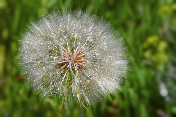 Dandelion Puff Photograph - Dandelion Puff - The Summer Queen by Christine Till